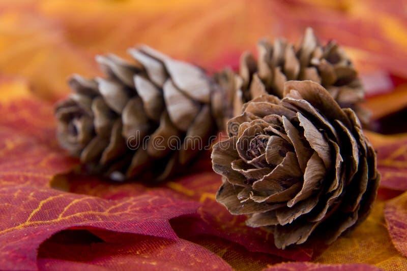 Trio de cones do pinho fotografia de stock royalty free