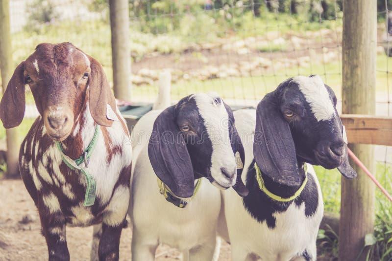 Trio de la chèvre Lop-earred dans le rétro arrangement chaud photographie stock libre de droits