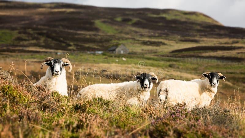 Trio de moutons image libre de droits