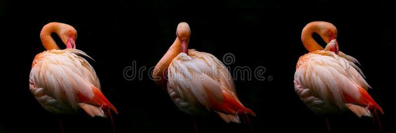 Trio de pássaros cor-de-rosa ou alaranjados de poda do flamingo contra o fundo preto imagens de stock royalty free