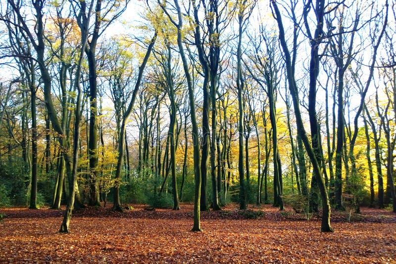 Trio degli alberi di faggio di autunno fotografia stock