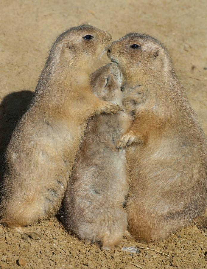 Trio dei cani di prateria - abbraccio del gruppo fotografia stock