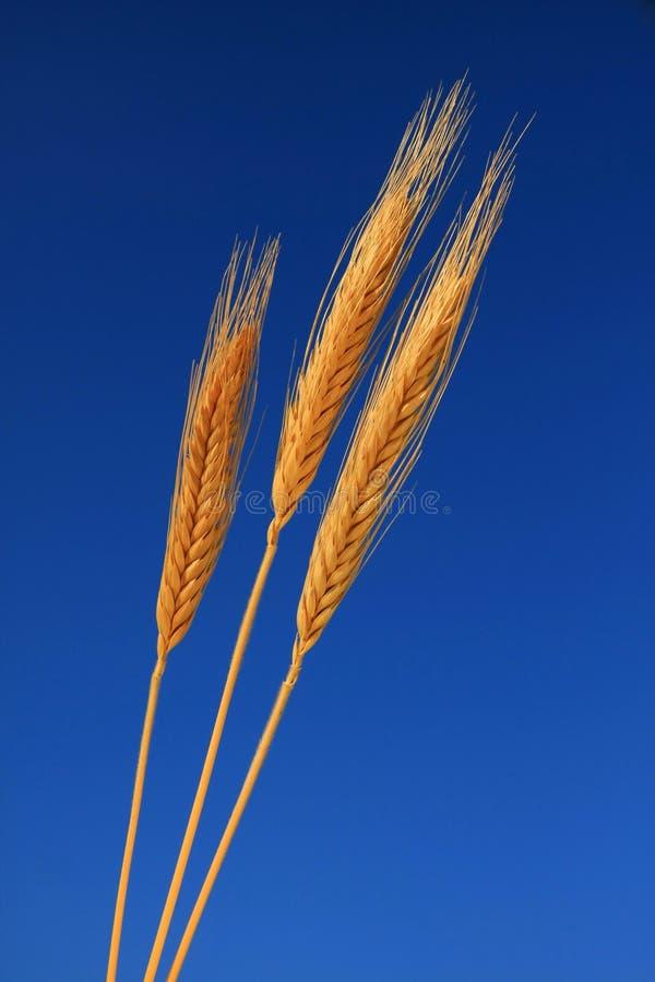 Trio dell'orecchio del frumento immagini stock libere da diritti