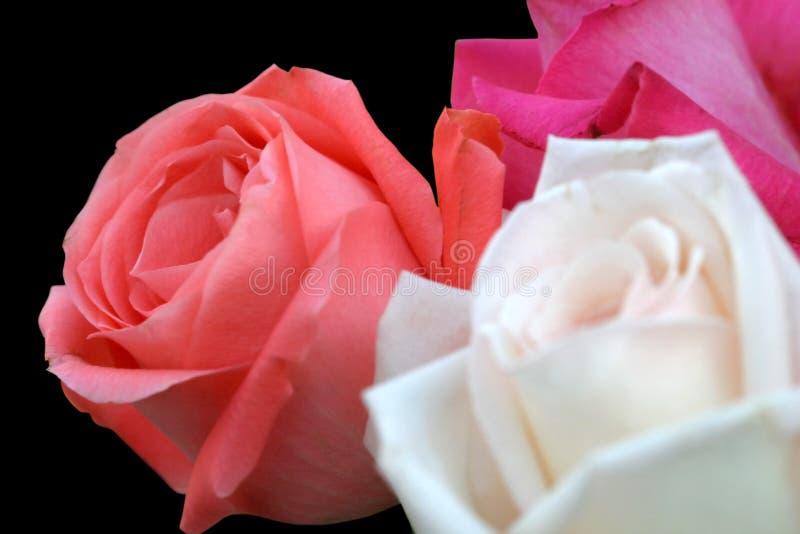 Download Trio della Rosa sul nero immagine stock. Immagine di fioritura - 217961