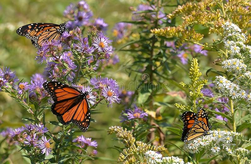 Trio delle farfalle del monarca (danaus plexippus) sull'aster di Nuova Inghilterra e su HBBH eterno madreperlaceo fotografia stock libera da diritti
