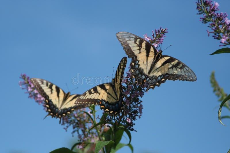 Trio delle farfalle di Tiger Swallowtail sul fondo dello skyblue immagini stock