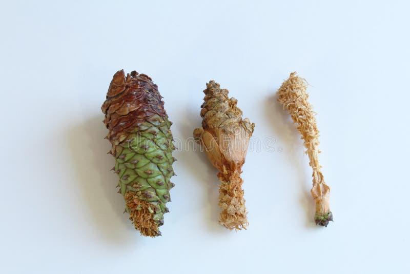 Trio delle pigne che mostrano le fasi di danno di rosicchiamento dagli scoiattoli fotografia stock libera da diritti