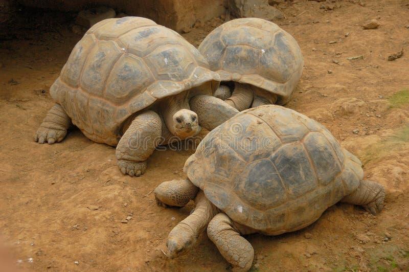 Trio der Schildkröten lizenzfreies stockfoto