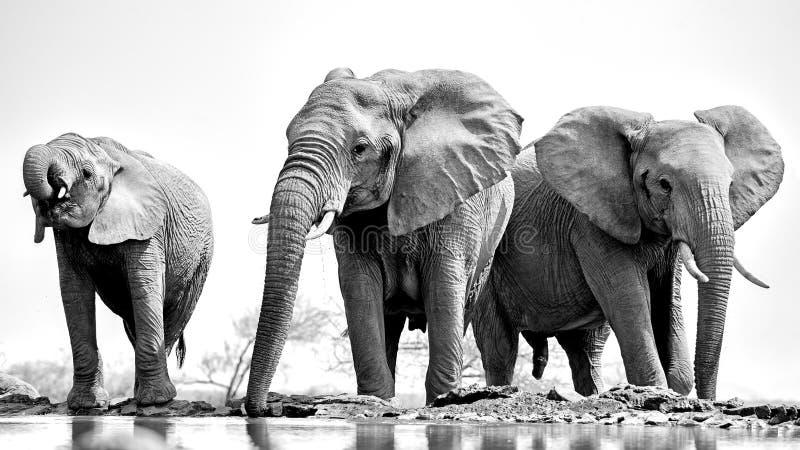 Trio des éléphants photo libre de droits