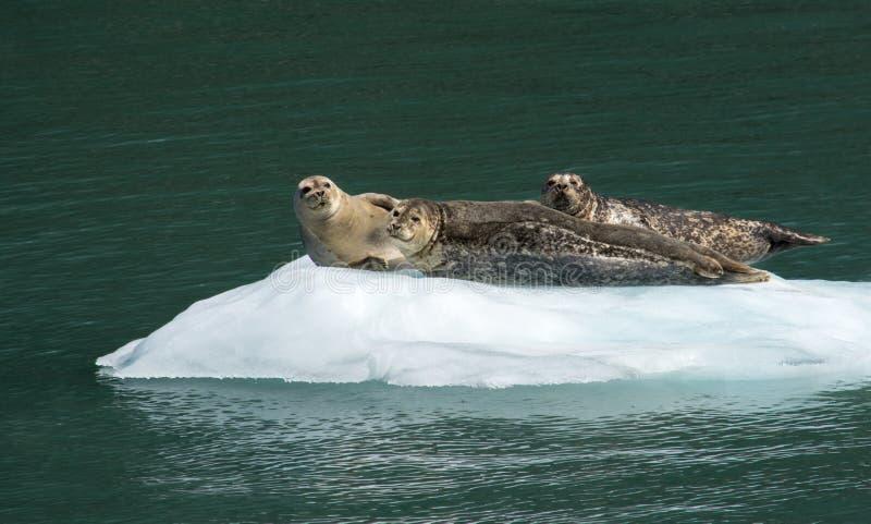 Trio des joints de port exposant au soleil sur la glace image stock