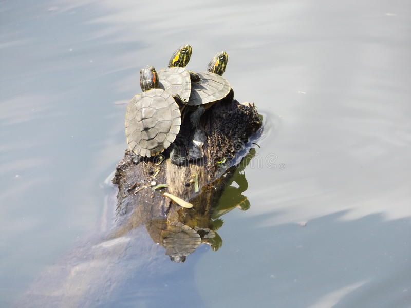 Trio des tortues image stock
