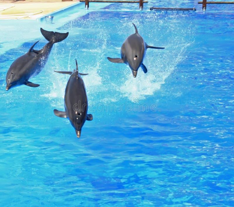 Trio di salto del delfino immagini stock