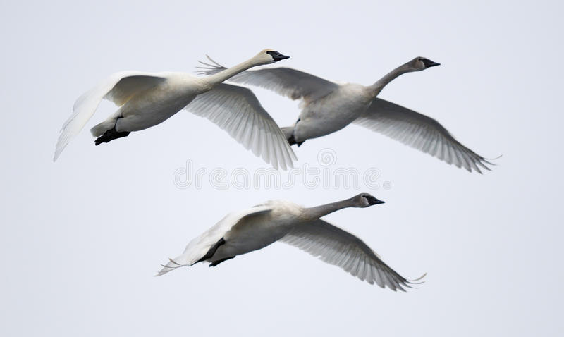 Download Trio Of Flying Trumpeter Swans Stock Image - Image: 13063973