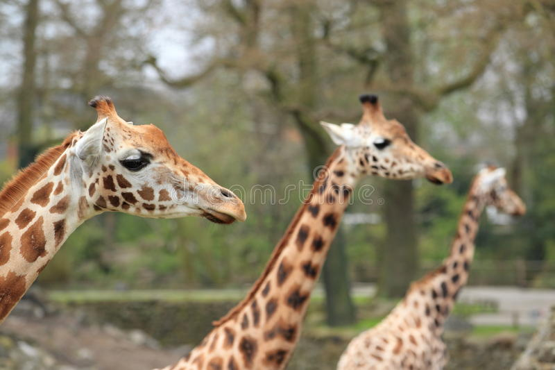Download Trio of girafes stock image. Image of mammal, toed, upper - 24461587