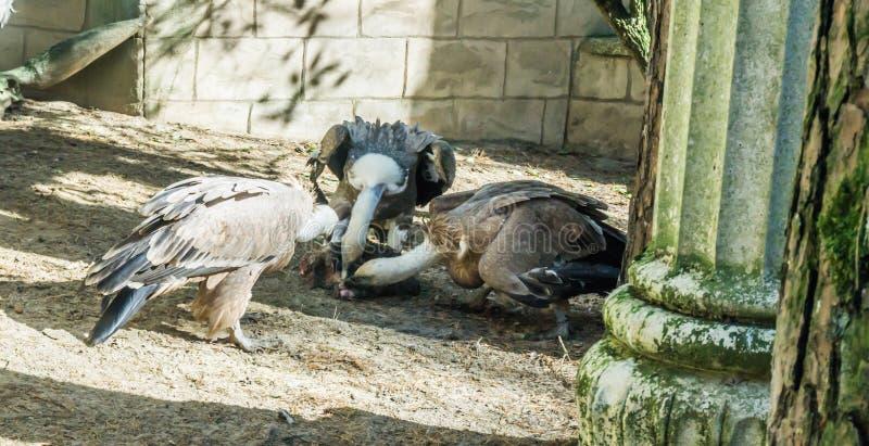 Trio griffon gieren die van een stuk van olifantsvlees samen eten stock foto's