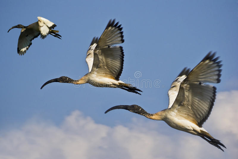 Trio of Juvenile African Sacred Ibis in Flight. (Threskiornis aethiopicus). A species of wading bird of the ibis family. Closely related to the Hadeda Ibis stock photos