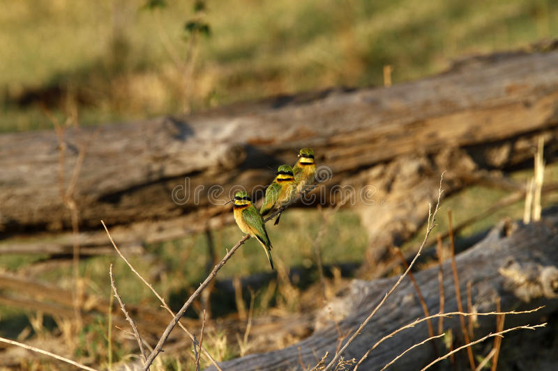Trio of Little Bee-Eaters. The Little Bee-Eater is a near passerine bird in the bee-eater family Meropidae stock images