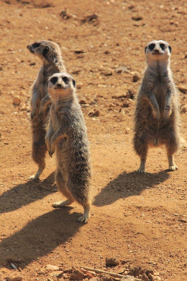 Trio of Meerkat stock image