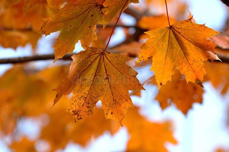 Trio of Orange Maple Autumn Leaves on Tree branch stock images