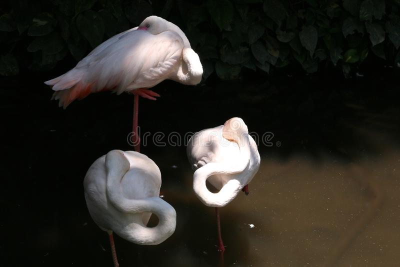 Trio of pink flamingos with twisted necks stand and sleep in the water stock photography