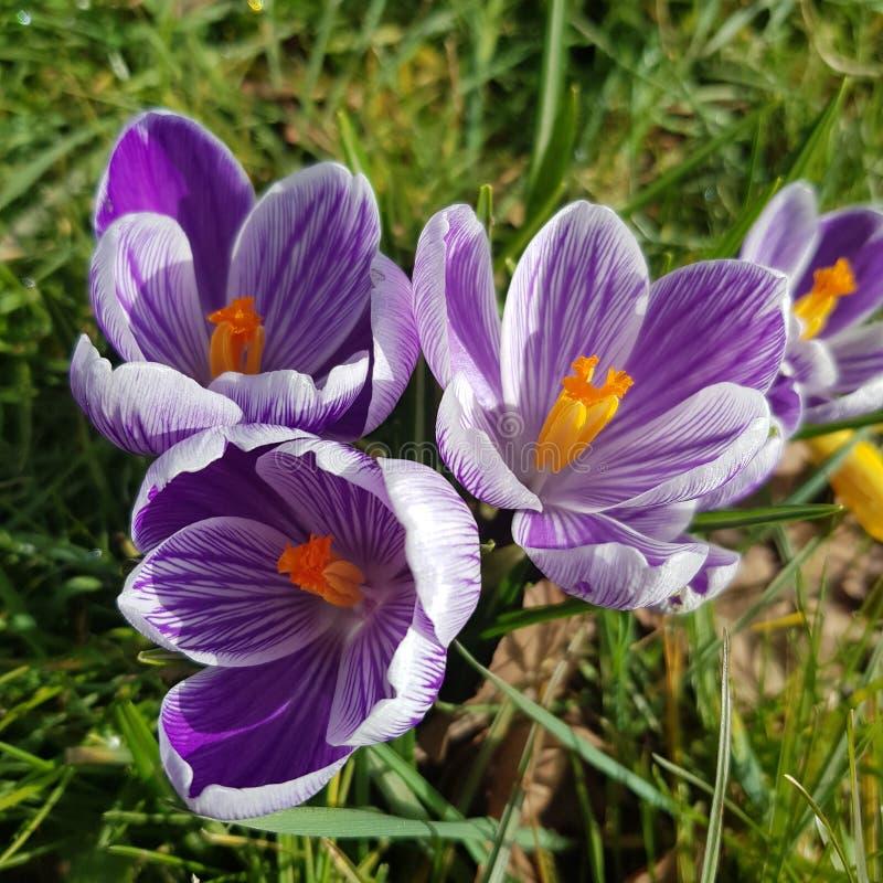 Trio of purple crocus stock images