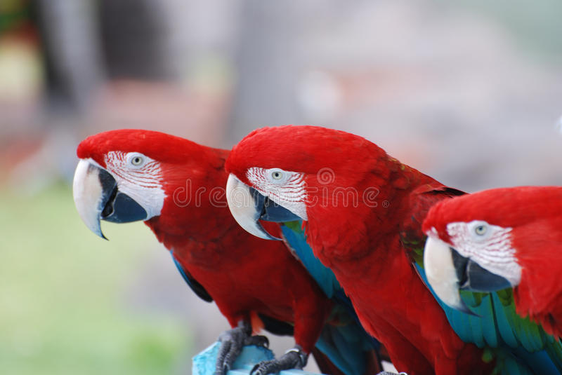 Trio of Scarlet Macaws on a Perch royalty free stock image