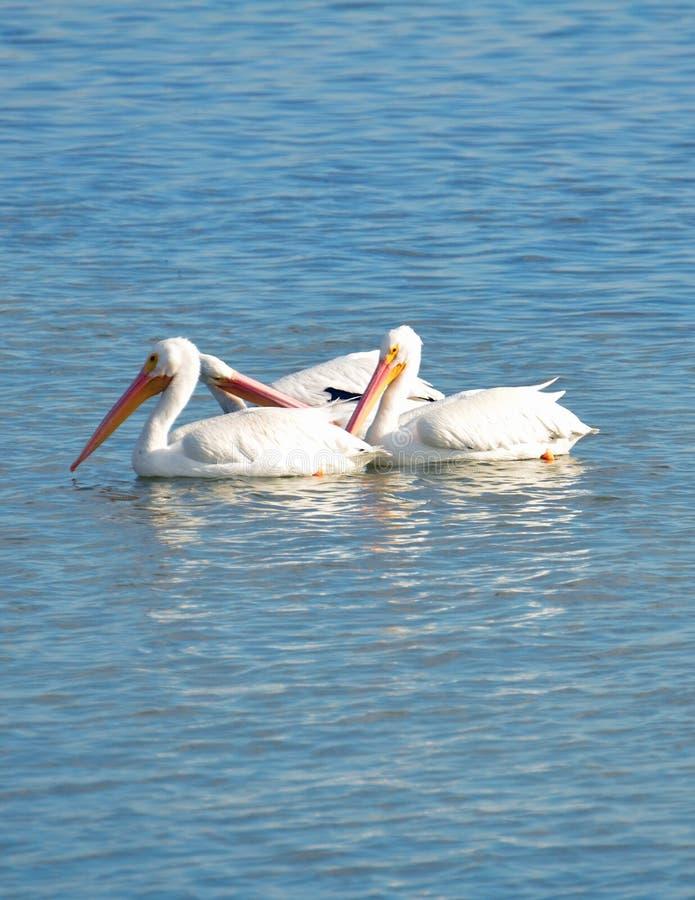 Trio van Amerikaanse witte pelikanen die samen in turkoois water met exemplaarruimte hierboven drijven en hieronder royalty-vrije stock afbeeldingen