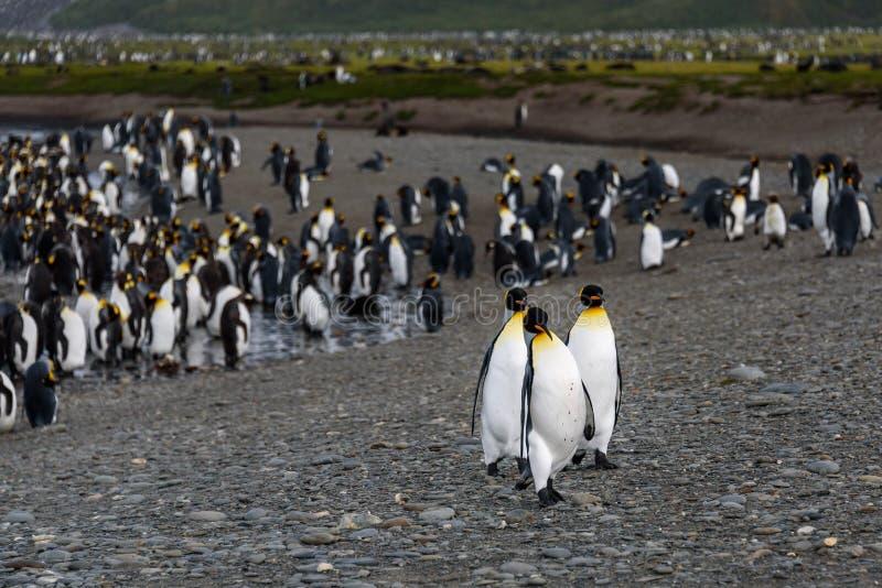 Trio van Koning Penguins royalty-vrije stock afbeelding