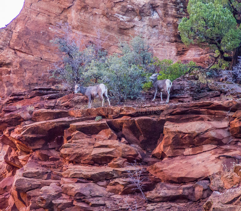 A trio of wild Mountain Goats royalty free stock photo