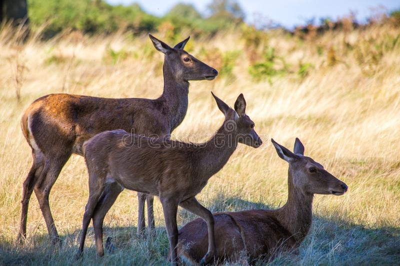 Trio of young deer in natural environment stock images