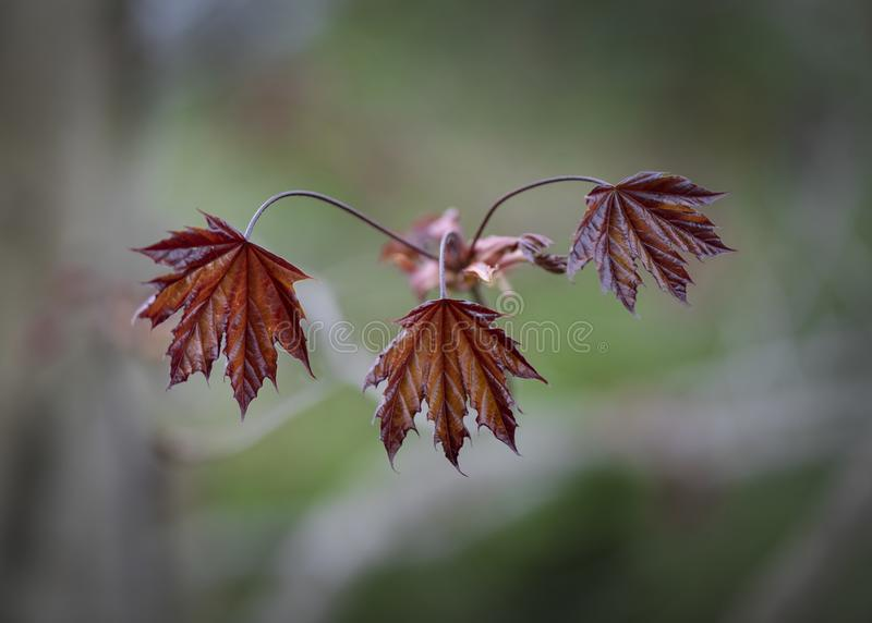 Red Norway Maple Leaves Emerging royalty free stock image