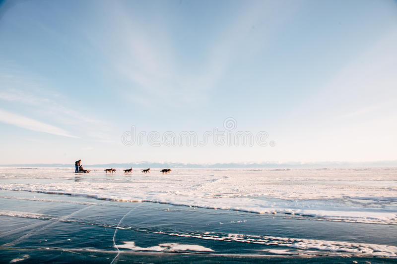 Trip sled dogs Husky. Breed on the ice of Lake Baikal on background sky royalty free stock images