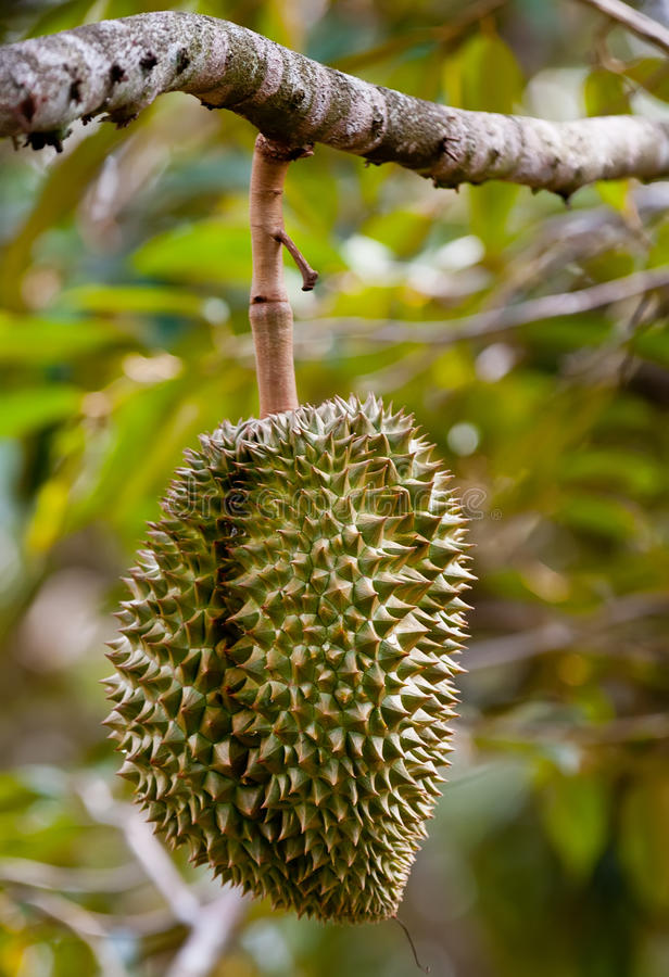 Download Tripical fruit durian stock photo. Image of blue, asia - 24146420