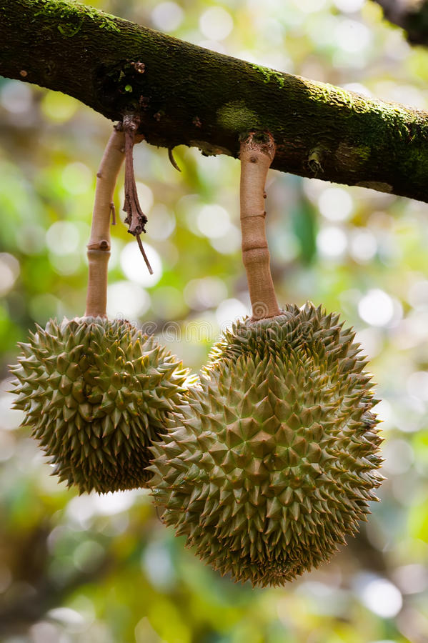 Download Tripical fruit durians stock image. Image of blue, tree - 24146745