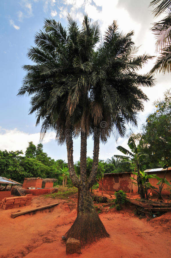 Download Triple Stalk Palm Tree stock photo. Image of ghana, buildings - 26696222