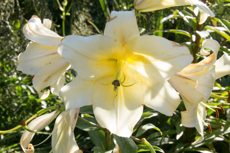 Triple White Flower Group royalty free stock photo