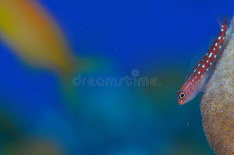 Triplefin des Maldives photographie stock