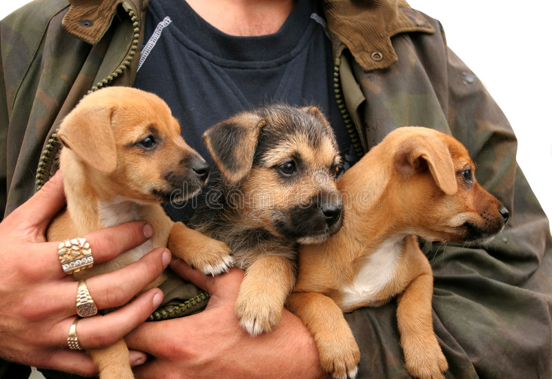 Triplets. Three german shepherd and labrador crossed puppies in the arms of a man with large gold and diamond rings on his fingers. Over white stock photography