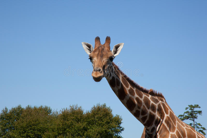 Download Triplets de girafe photo stock. Image du long, bleu, mammifères - 37095282