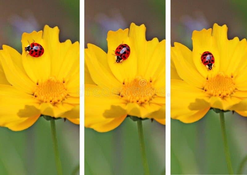 Triptych ladybugs royalty free stock photos