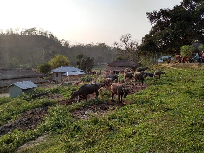 Tripurar Bankul, India, de mooie buffels landbouw stock foto's
