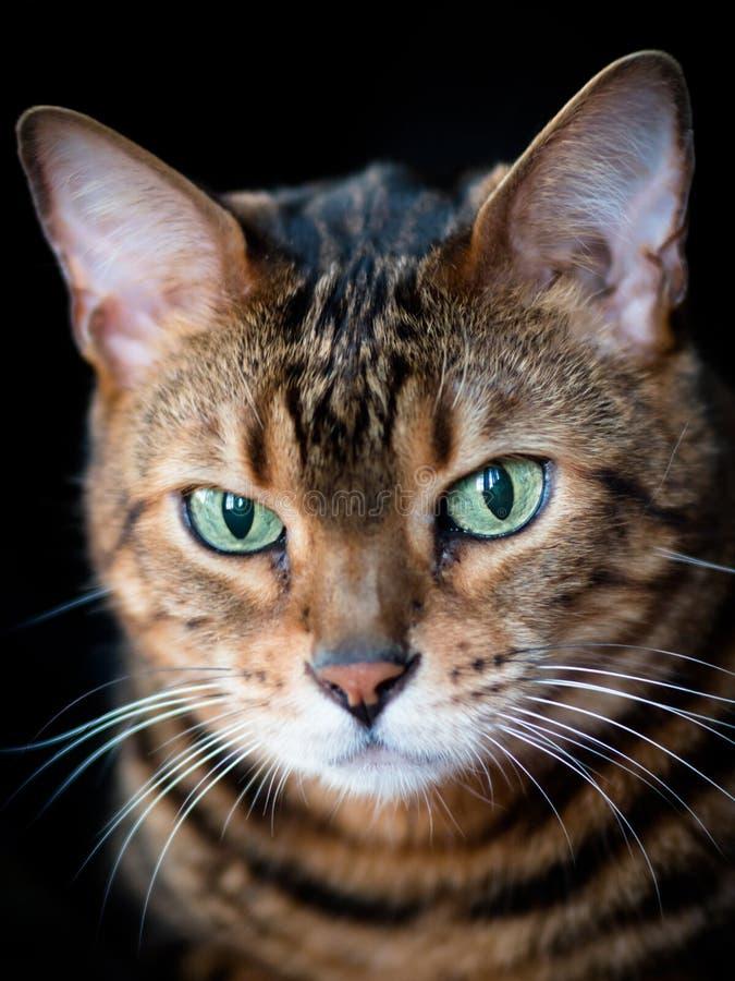 Trist que le chat du Bengale pose pour un portrait images libres de droits