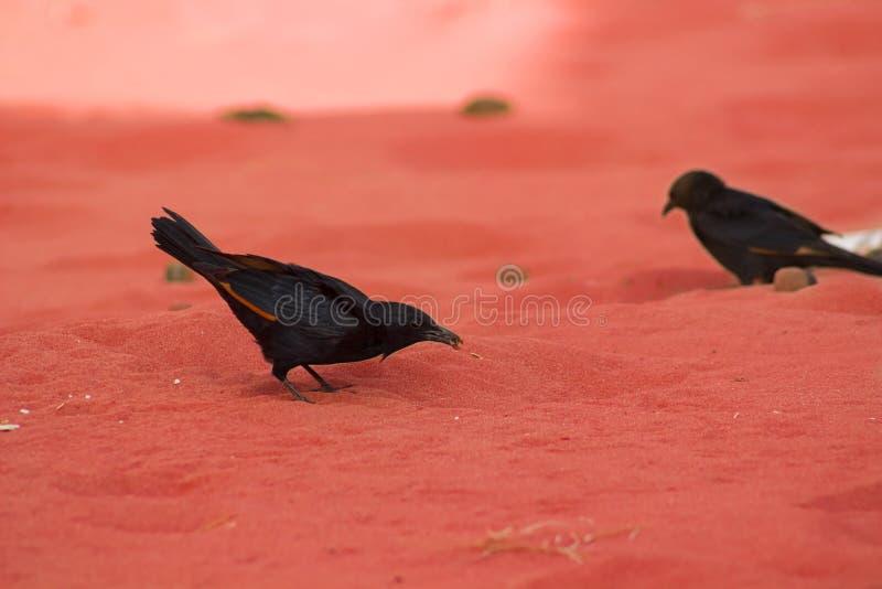 Tristam's starling. Finding something to eat among the sands of Vadi Rum desert, Jordan stock photos