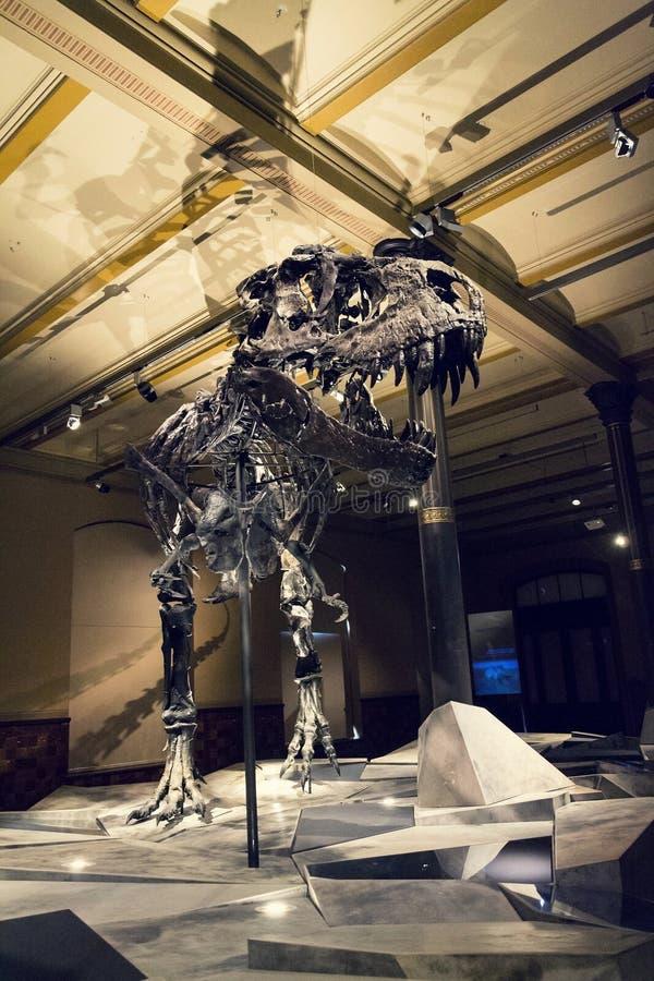 Tristan Otto Tyrannosaurus rex kościec przy historii naturalnej muzeum - Muzealny futerkowy Naturkunde w Berlin, Niemcy zdjęcie stock