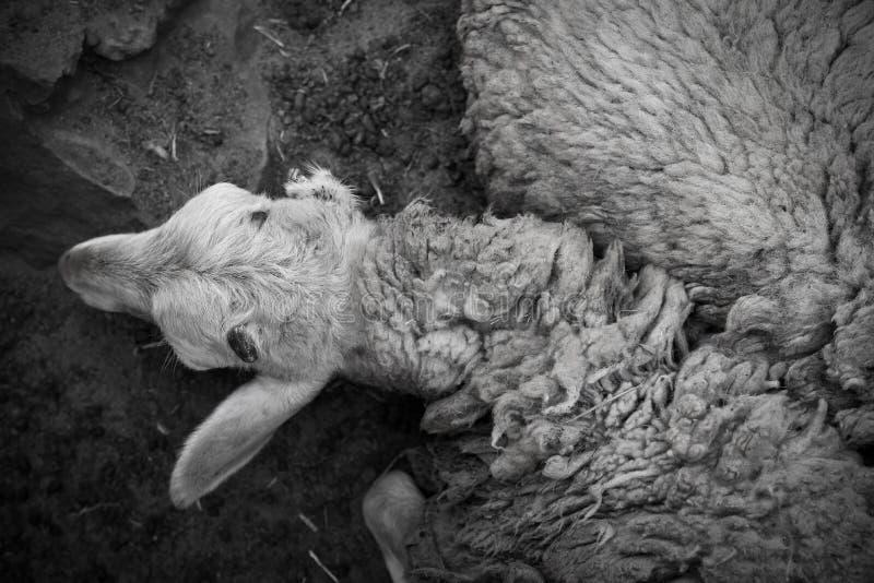 Triste solo animal fotografía de archivo