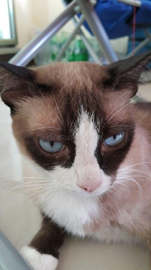 Triste tailandese del gatto fotografia stock libera da diritti