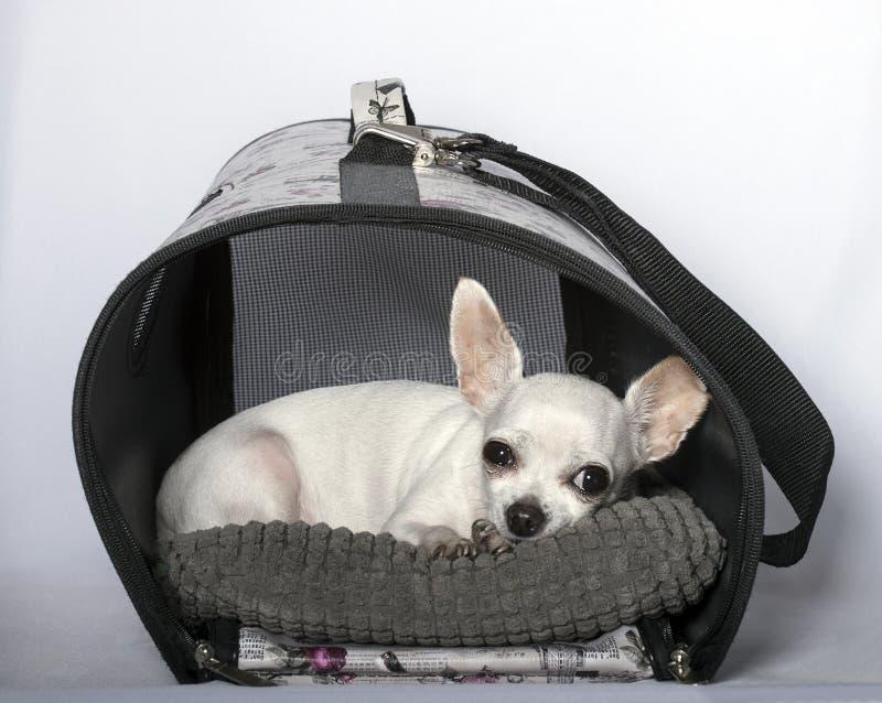 Tristezza, cattivo umore, naso nero e grandi orecchie della chihuahua fotografia stock libera da diritti