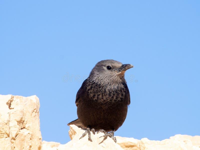 Tristram`s starling bird royalty free stock photos