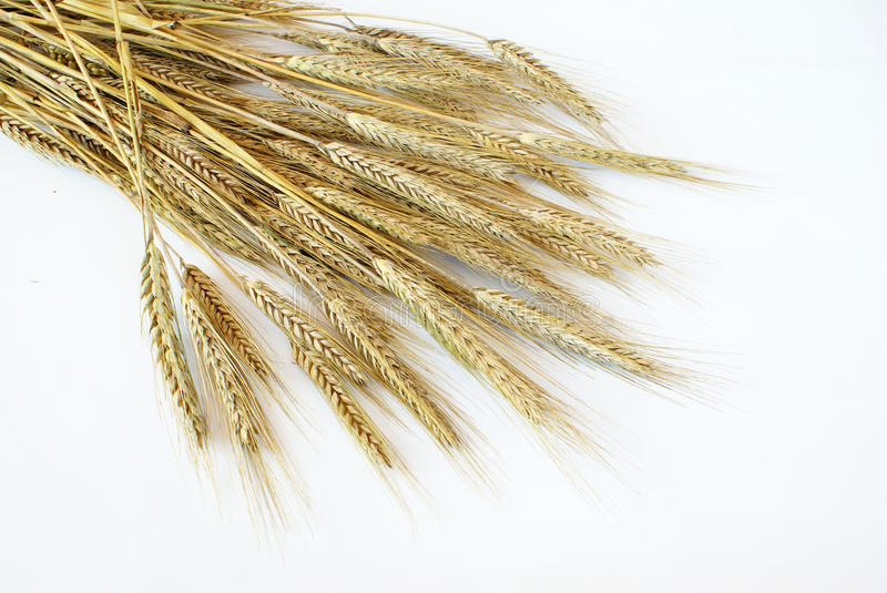 triticale obrazy royalty free