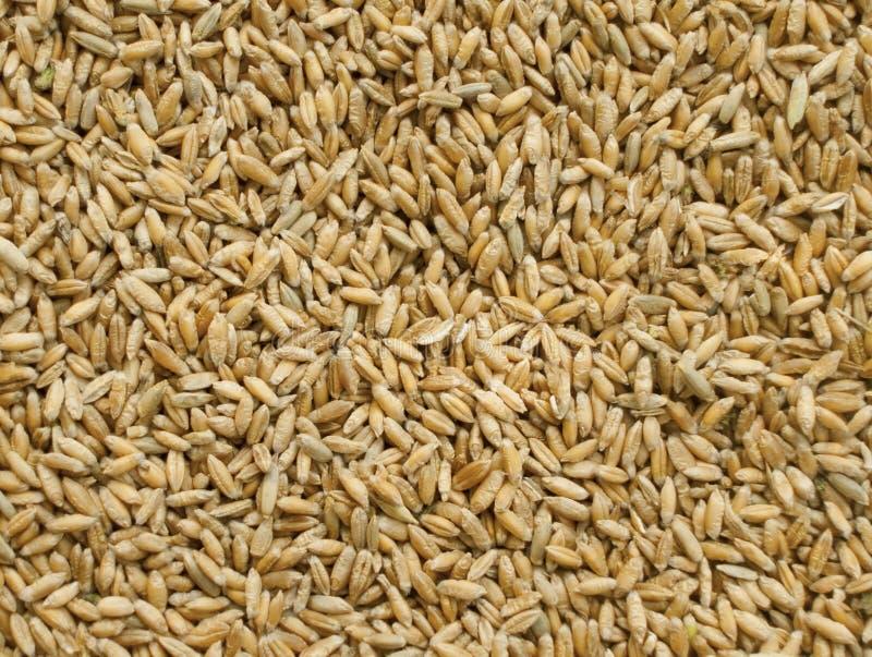 Triticale de la cosecha del cereal fotografía de archivo